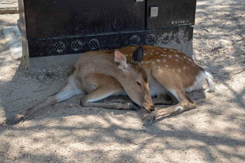 暑さにバテる鹿